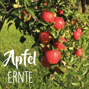 Apfelernte in Serrig